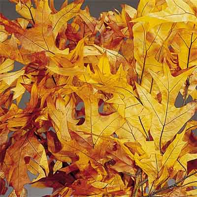 Oak Leaves - Brownstone - 25 1lb Bundles