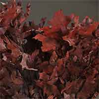 Oak Leaves - Chocolate - 25 1 lb Bundles