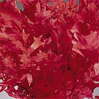 Oak Leaves - Red - 25 1 lb Bundles
