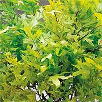 Oak Leaves - Spring Green - 25 1 lb Bundles