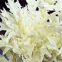 Oak Leaves - White - 25 1 lb Bundles