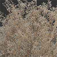 Dried Baby's Breath - Gypsophila - Silver Sparkle