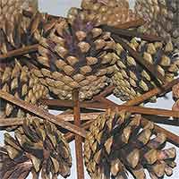 Pinecones Austriaca Natural on Pick 100