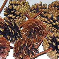 Pinecones Austriaca Varnished on Pick 100