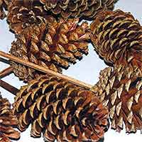 Pinecones Varnished 3-4 inches on PIcks 100 Cones