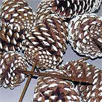 Pinecones White Tipped 3-4 inches on PIcks 100 Cones
