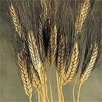 Dried Blackbeard Wheat 20 Bundles Wholesale