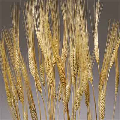 Dried Golden Wheat Stalks 20 Bundles Wholesale