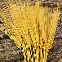Triticum Wheat Bundles Yellow 20 Bundles Wholesale