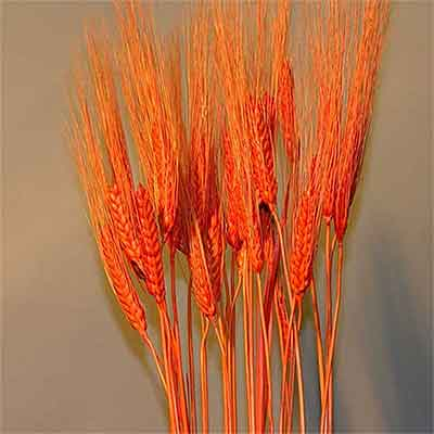 Triticum Wheat Bundles Orange 20 Bundles Wholesale