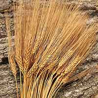 Triticum Wheat Bundles Rust 20 Bundles Wholesale