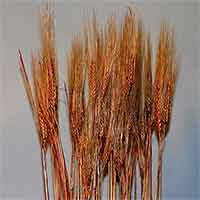 Triticum Wheat Bundles Burnt Oak 20 Bundles Wholesale