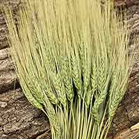 Triticum Wheat Bundles Green 20 Bundles Wholesale