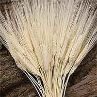 Triticum Wheat Bundles Bleached 20 Bundles Wholesale