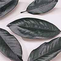 Magnolia Leaves Preserved