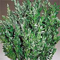 Boxwood Branches Dried Preserved