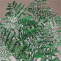 Fern, Leatherleaf, Preserved, 20 Bunches
