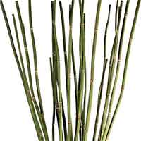 Equisetum, Snake Grass, 12 Bunches