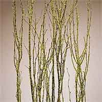 Birch Branches, Mosscoat, 12 Bundles