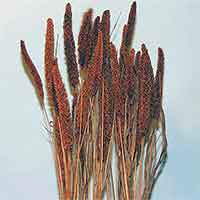 China Millet, Burnt Oak, 20 Bundles