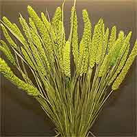 China Millet, Chartreuse, 12 Bundles