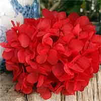 Preserved Hydrangeas, Red, 12 Bunches