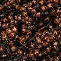 Canella Berries, 12 Bags, Chocolate