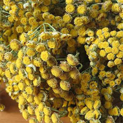 Dried Tansy Flowers, 20 Bundles