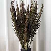 Sudan Grass, 30 Bundles