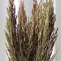 Sudan Grass, 10 Bundles
