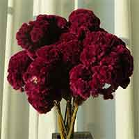 Merlot Dried Cockscomb, 15 Bunches
