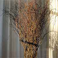 Fresh Curly Willow Branches, 100, Green