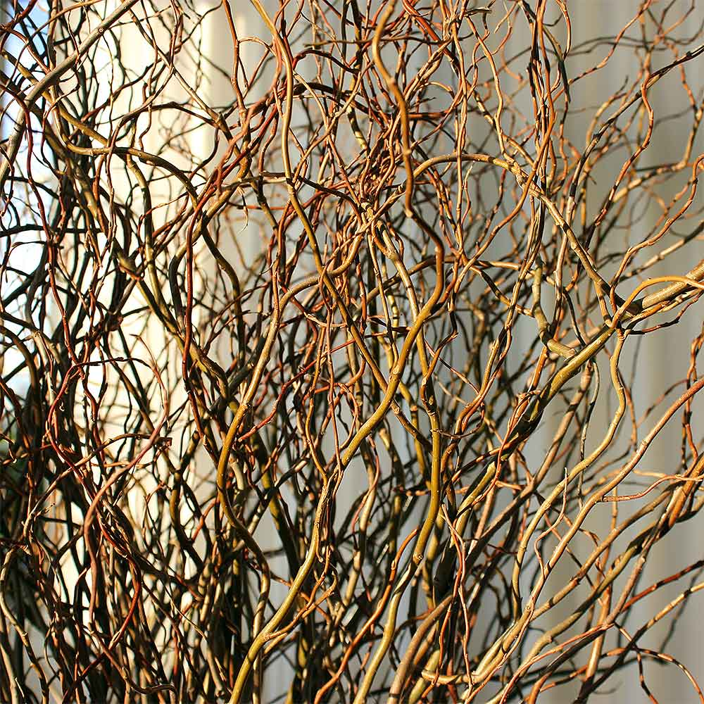 Fresh Curly Willow Branches, 4-5 feet, Green
