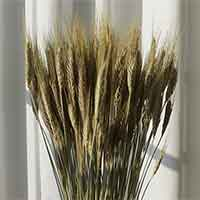Dried Bearded Triticale, 20 Bunches