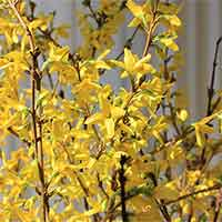 Forsythia Branches, 10 Bunches, 3-4'