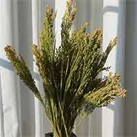 Canary Grass, 30 Bunches