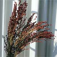 Red Broomcorn, 40 Bunches