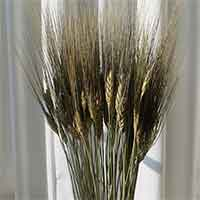 Black Beard Wheat, 25 Bundles, Green Stem