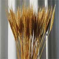 Blonde Spring Wheat, 20 Bunches