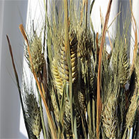 Club Wheat, 20 Bunches