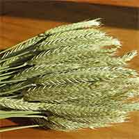 Green Beardless Triticale, 20 Bunches