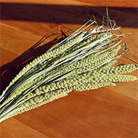 Spray Millet, 15 Bunches