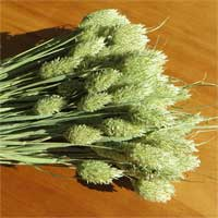 Phalaris Grass, 25 Bundles
