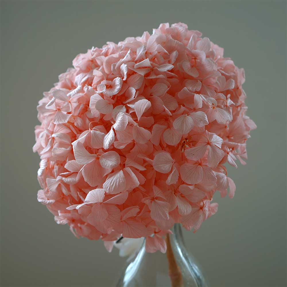 hydrangeas,  light pink, Beautiful flower