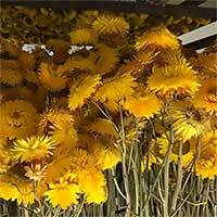 Straw Flowers, 12 Bundles, Yellow