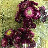 Straw Flowers, 12 Bundles, Purple