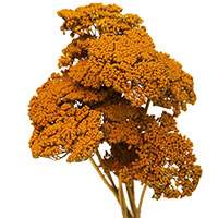 Dried Yarrow Flowers, 12 Bundles, Yellow