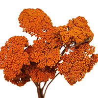 Dried Yarrow Flowers, 12 Bundles, Persimmon