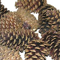 Natural Bulk Pinecones 5 Bushels