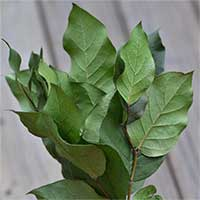 Salal, 12 Bunches, Preserved Green